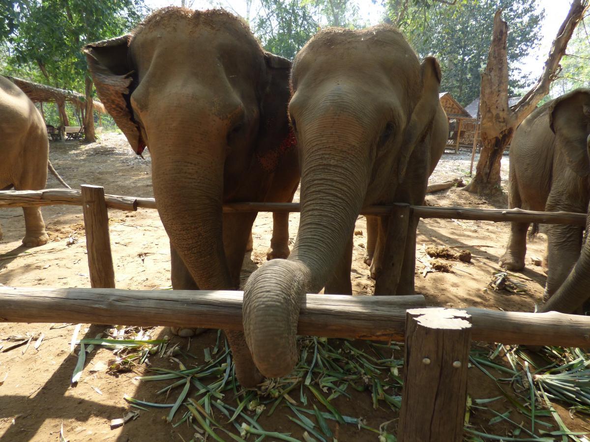 Nagy fekete elefánt farkukat